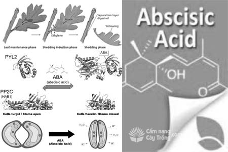 Abxixic (ABA) - Acid Abscisic