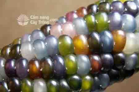Bắp ngô rực rỡ sắc màu - đẹp nhất thế giới