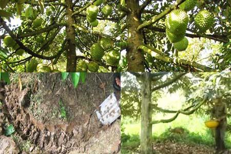 Quy trình kỹ thuật bón phân cho cây sầu riêng