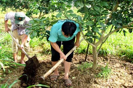 Quy trình kỹ thuật bón phân cho cây cam