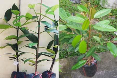 Kỹ thuật trồng mới cây sầu riêng và cây măng cụt