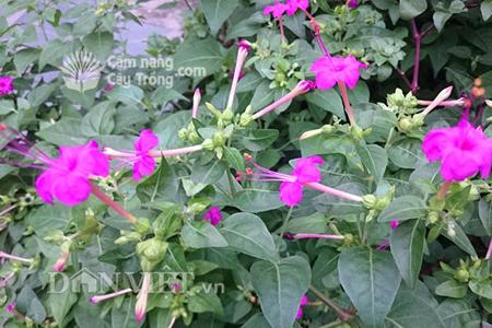 Bí ẩn cây cung nữ (hoa phấn) giúp hoàng hậu, cung phi xưa đẹp như tiên
