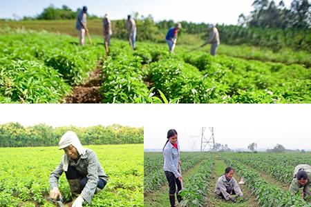 Kỹ thuật trồng và chăm sóc cây Cỏ ngọt