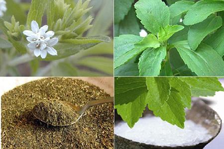 Biện pháp kỹ thuật thu hoạch và bảo quản, sơ chế Cỏ ngọt