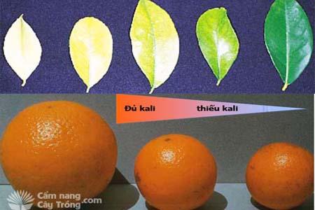 Dinh dưỡng cây trồng: Nghiên cứu dinh dưỡng trên cây có múi