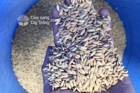 Bí quyết không cần ngâm ủ, lúa vẫn nảy mầm như thường