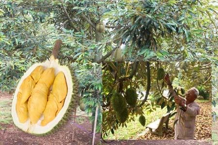 Kỹ thuật chăm sóc cây sầu riêng: Tỉa cành, tạo tán cho cây sầu riêng