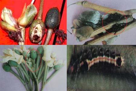Sâu ăn bông sầu riêng