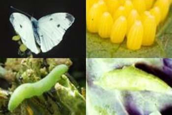 Sâu xanh, bướm trắng