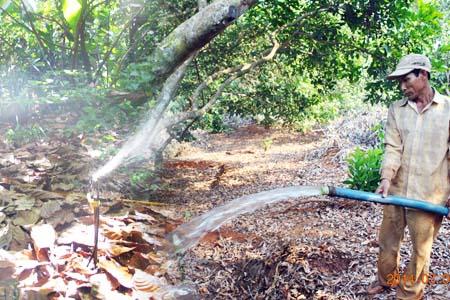 Kỹ thuật chăm sóc cây chôm chôm: Tưới và tiêu nước cho chôm chôm