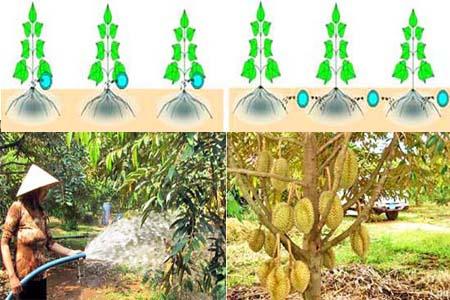 Kỹ thuật chăm sóc cây sầu riêng: Tưới và tiêu nước cho sầu riêng