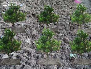 Vườn quất (tắc) cảnh 9 tháng sau trồng