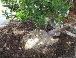 Đào vòng quanh tán để bón phân