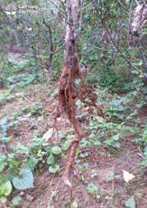 Rễ cây đào cảnh