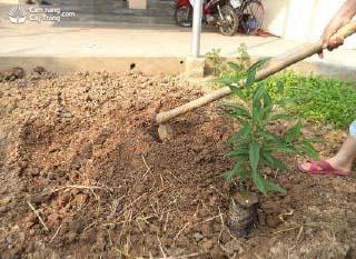 Đào hố trồng cây