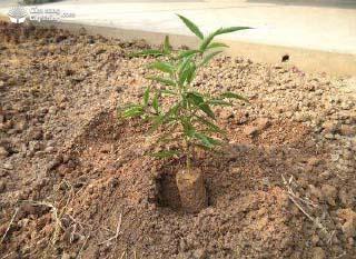 Cây đào giống được đặt vào hố trồng