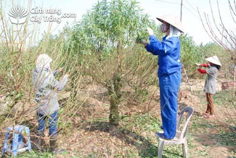 Tuốt lá cho cây đào cảnh