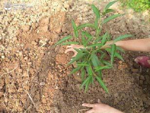 Lấp đất cho cây mới trồng