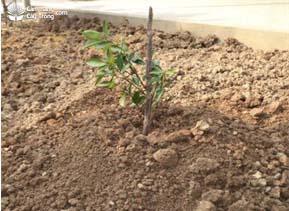 Cắm cọc chống đổ cho cây quất (tắc) cảnh