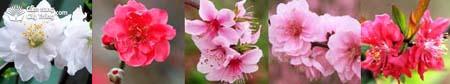 Hoa cây đào