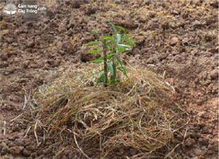 Cắm cọc chống đổ cho cây đào cảnh