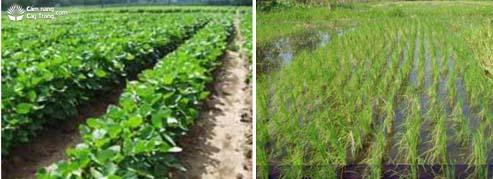Cây họ đậu và Ruộng trồng lúa