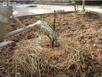 Tưới nước cho cây quất (tắc) cảnh ngay sau trồng