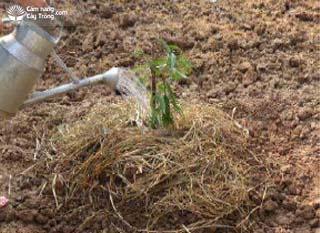 Tưới nước cho cây đào cảnh ngay sau trồng