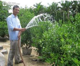 Tưới nước cho cây quất (tắc) giai đoạn ra hoa tạo quả