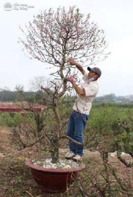 Cắt bớt cành lá cho cây đào
