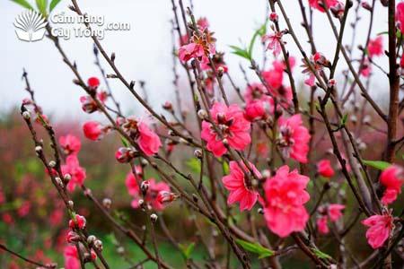 Đào bích Nhật Tân