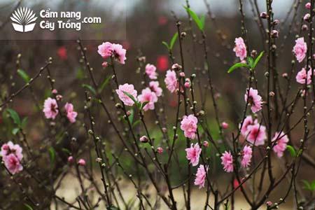Đào phai Nhật Tân cánh kép