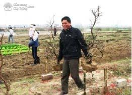 Trồng lại cây đào ra ruộng sản xuất