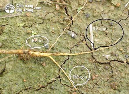 Bộ rễ Bông vải