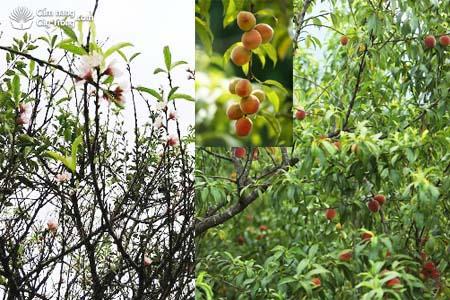 Hoa, quả đào Mộc Châu