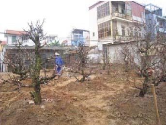 Vườn đào thế trồng lại sau Tết