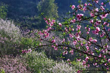 Rừng hoa đào ở Mộc Châu