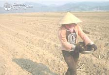 Bón lót trước khi trồng mía