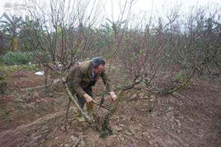 Cắt sửa thân cây đào cảnh