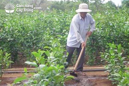 Chăm sóc vườn chè giống nuôi hom