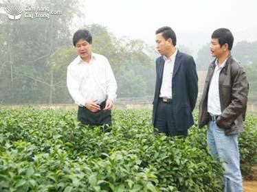 TRI 777茶品种