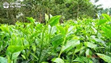 LDP1茶品种