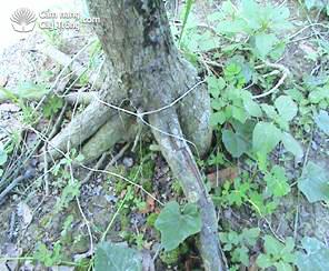 Bộ rễ măng cụt thường ở lớp đất mặt