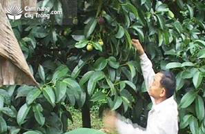 Cây măng cụt cho quả sau trồng 6 năm