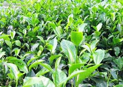 LDP2茶品种