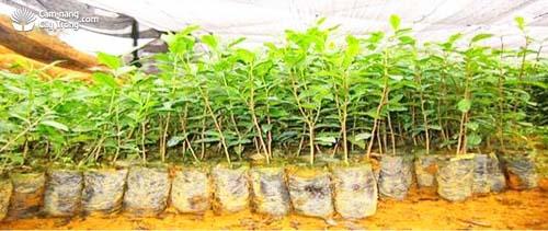 Cây đủ tiêu chuẩn xuất vườn