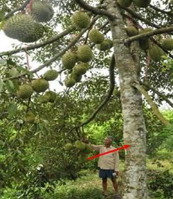 Thân cây sầu riêng
