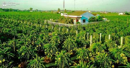 Một vườn Thanh Long ở Bình Thuận