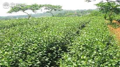 金Tu茶品种