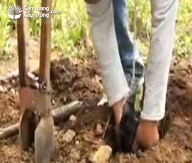 Đặt bầu đất vào hố